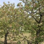 Kirschbaumplantage in Glindow/Werder